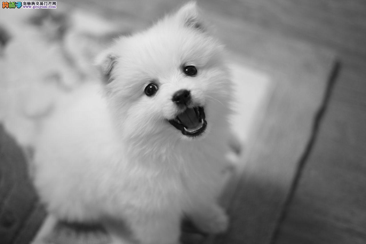 纯种尖嘴犬银狐犬 幼犬家养出售宠物狗活体银狐