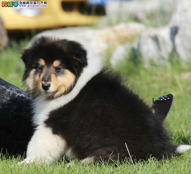 犬舍直销品种纯正健康吉林苏牧购犬可签协议