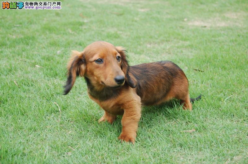 广州专业出售腊肠犬 广州腊肠犬价格/图片