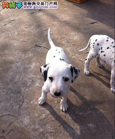 赛级品相青岛斑点狗幼犬低价出售可签订活体销售协议