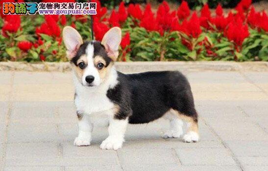 纯种 赛级 柯基幼犬多只可选 正规犬舍出售 签订协议