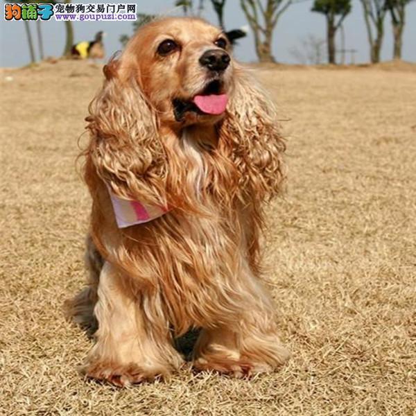 精品赛级可卡 保证品质一流 微信咨询看狗