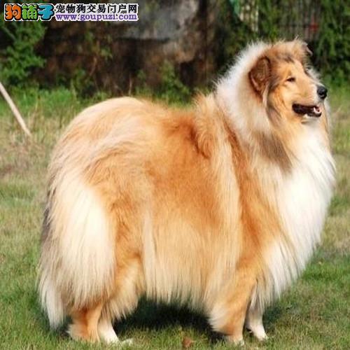 出售纯种苏格兰牧羊犬价格优惠 保证纯种 可送货上门
