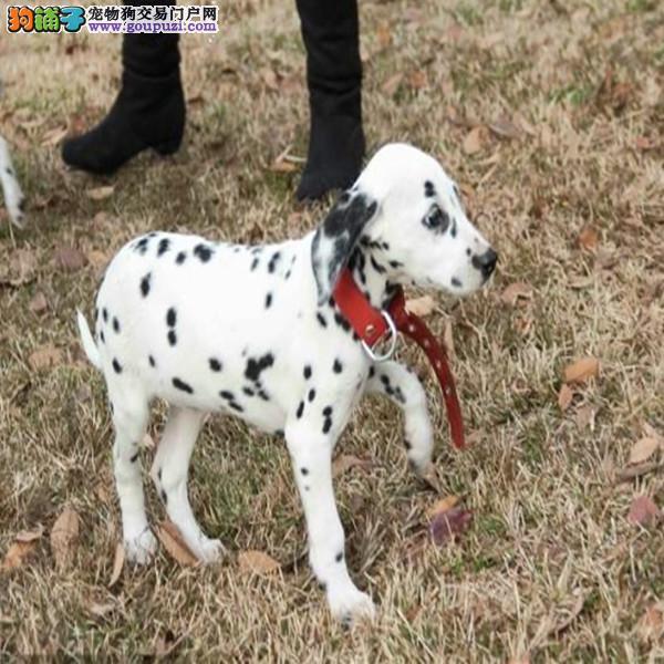 出售赛级斑点狗、假一赔十价位最低、签订正规合同