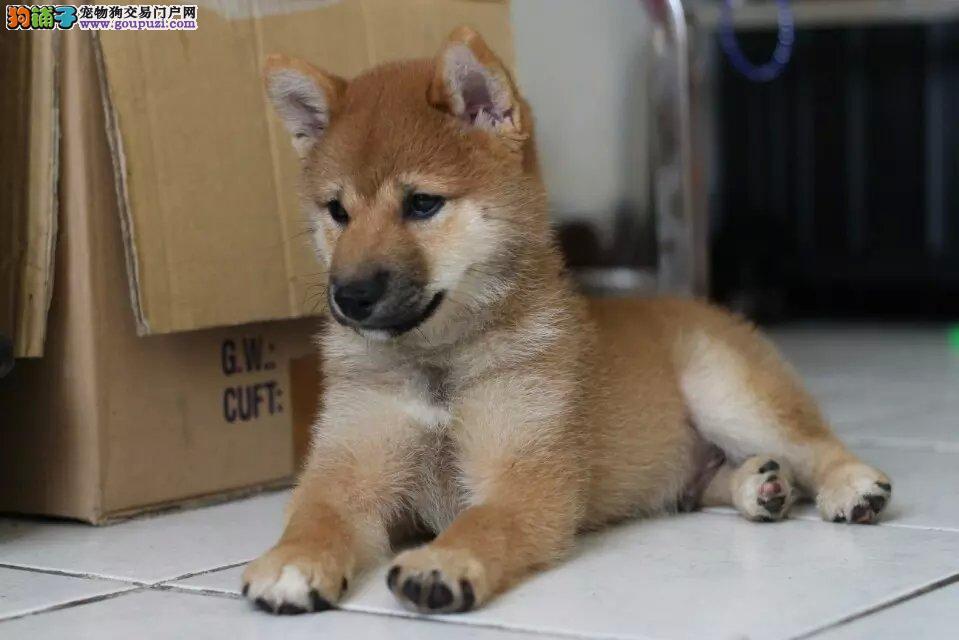纯种日系柴犬,貌似秋田犬,是柴犬哦