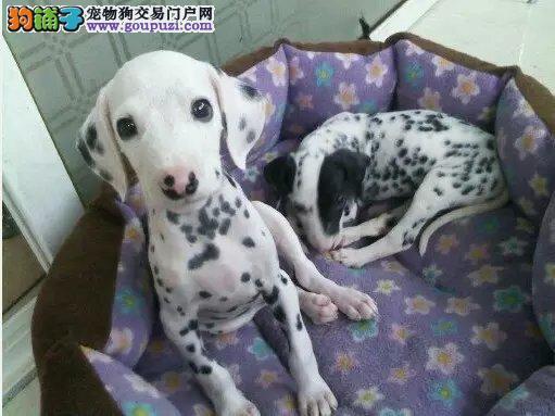 斑点纯种,家庭宠物犬,是个贴心伴侣,自家犬舍繁殖