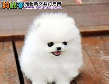 顶级优秀的纯种天津博美犬热销中欢迎上门选购价格公道