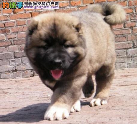 太原犬舍低价促销多只三个月的高加索犬 身体健康