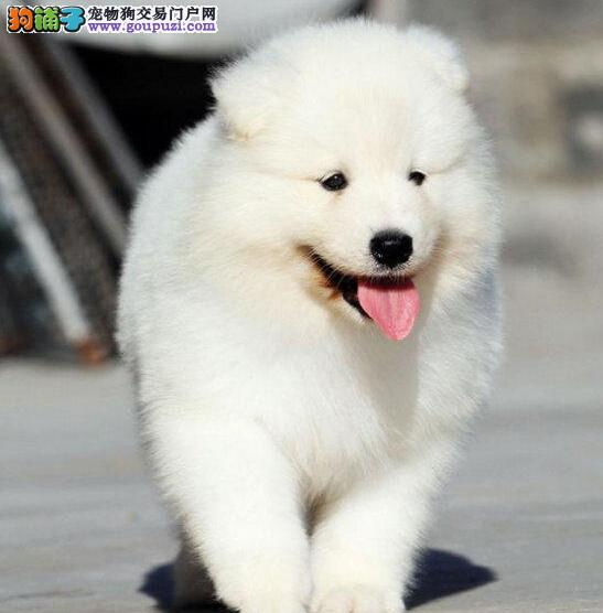 萨摩耶丽水最大的正规犬舍完美售后全国十佳犬舍