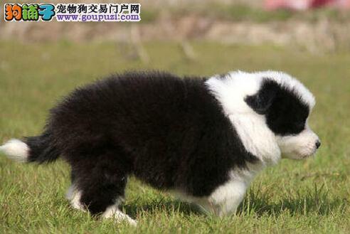 广州纯种健康白金血系边牧幼犬 高智商 疫苗做齐