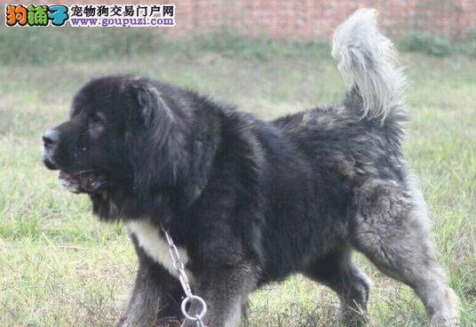 天津火热开卖啦 熊版俄罗斯血系高加索幼犬 全国包邮