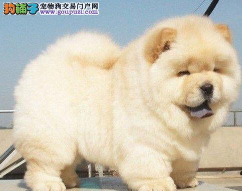 促销大嘴紫舌北京松狮犬 可签署质保协议有赠品
