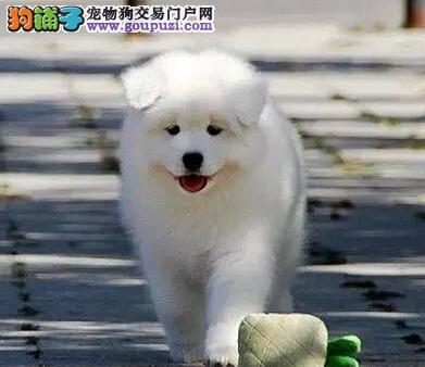 迷人眼球微笑萨摩耶天津出售 无异味 亮丽雪白的被毛