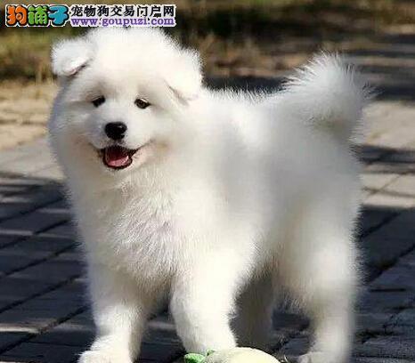 精品萨摩耶幼犬一对一视频服务买着放心微信看狗可见父母