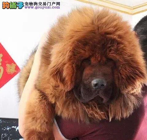 天津獒园出售原生大狮头吊眼纯种藏獒 质量说明一切