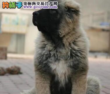 热销出售大骨架惠州高加索犬 外地可代办空运欢迎购买