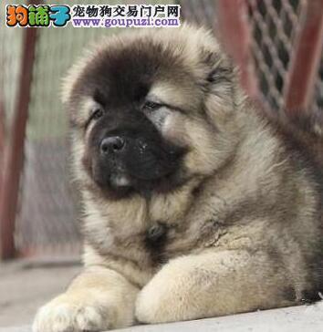 郑州大型繁育基地出售顶级血统高加索犬证书齐全