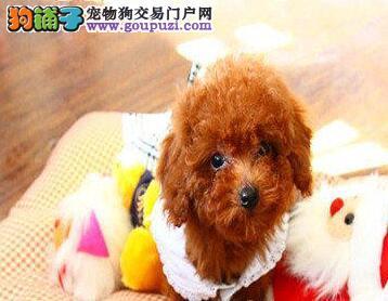 合肥犬舍火爆直销出售超小体的贵宾犬 卷毛品相超级棒