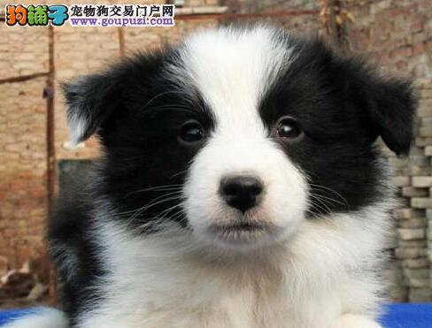 深圳精品边境牧羊犬 七白到位围脖通双血统
