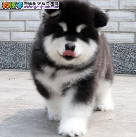 顶级优秀惠州犬舍促销价格出售精品阿拉斯加雪橇犬