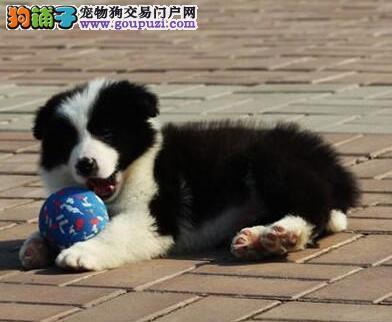 CKU认证犬舍出售高品质边境牧羊犬保障品质一流专业售后
