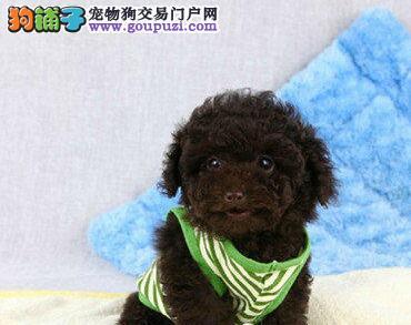 诚信犬舍出售纯种惠州贵宾犬 国外引进犬种保证质量