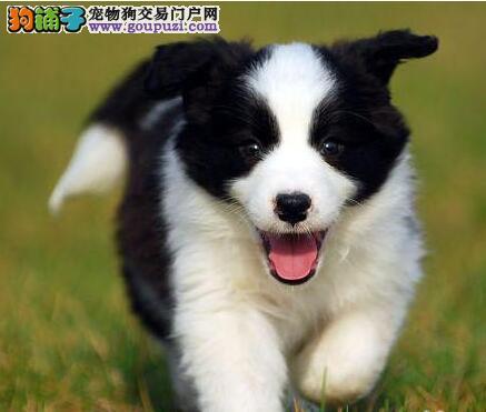 纯种血系惠州边境牧羊犬出售中 可办理血统证书保纯度