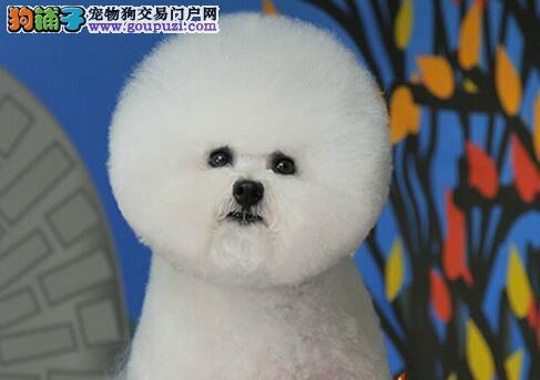 南京繁殖场火爆出售卷毛比熊犬 可随时上门选购爱犬