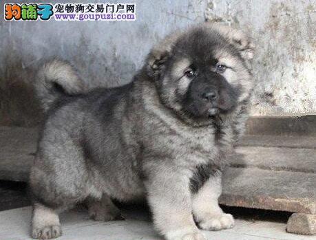 巨型纯正血统的南京高加索犬火爆热卖 疫苗驱虫已做好