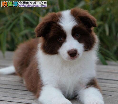 转让智商超高品相极佳的广州边境牧羊犬 狗贩子勿扰