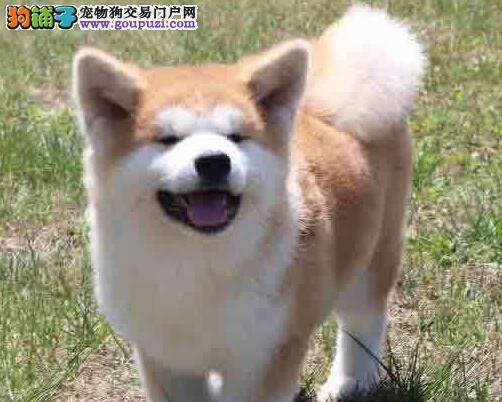 出售纯种秋田犬、品质第一价位最低、提供养护指导