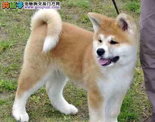 顶级秋田犬宝宝、纯度好100%健康、诚信经营保障