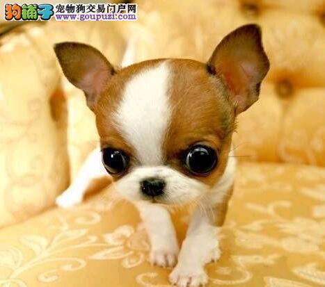 售可爱活泼的小体型广州吉娃娃幼犬 保障品质健康血统