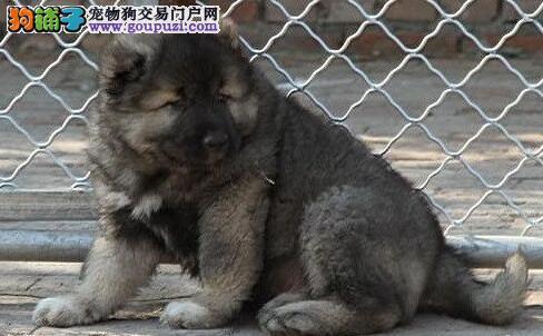 纯种健康的杭州高加索犬特价出售中 疫苗驱虫已完毕