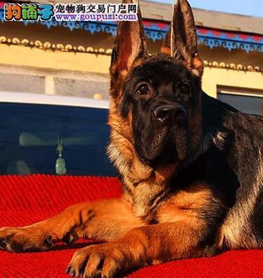 重庆正规狗场出售锤系德国牧羊犬 超高品质英俊帅气