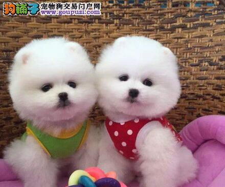 犬舍直销纯种博美犬北京周边地区购犬送狗粮