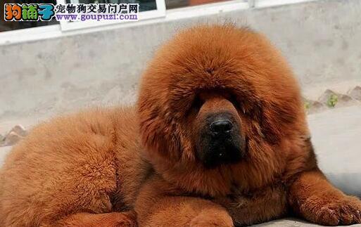 高贵气质王者风范的大狮头杭州藏獒找新家 非诚勿扰