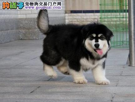 纯正巨型的杭州阿拉斯加雪橇犬找新家 图片均实物拍摄