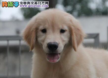 深圳宠物狗纯种金毛寻回犬多少钱深圳金毛犬价格多少