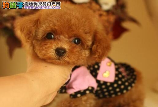 盘锦本地出售高品质贵宾犬宝宝签订协议包细小犬瘟热
