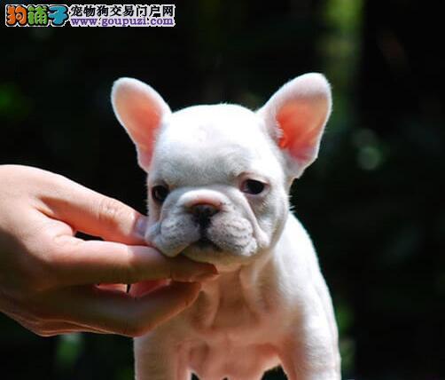 公母均有的天津法国斗牛犬找爸爸妈妈最优秀的售后