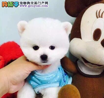 杭州专业繁殖纯种精品博美宝宝 质保三年可签协议