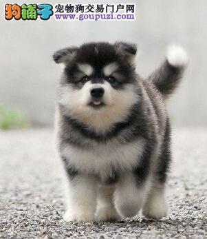 双血统熊版广州阿拉斯加犬超低价出售重 三个月包退换