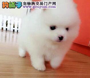 顶级纯种哈多利版博美犬热销 欢迎来南昌本地当面挑选