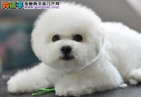 广东自家养殖纯种比熊低价出售真实照片包纯
