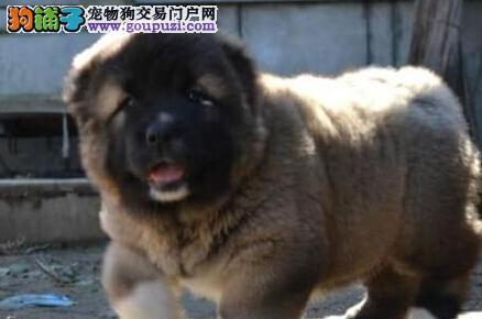 出售纯正血系的台州高加索犬 喜欢的朋友上门选购