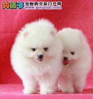 热销多只优秀的松原纯种博美犬幼犬最优秀的售后