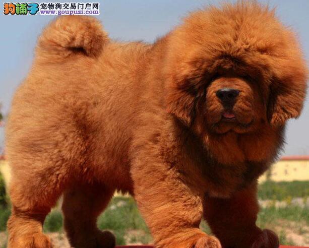 杭州大型獒园低价出售多种血系的藏獒幼崽 狗贩子绕行