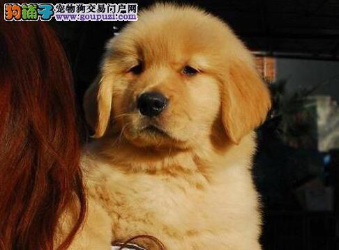 南昌正规犬舍出售大骨架金毛犬 驱虫疫苗已做好保健康