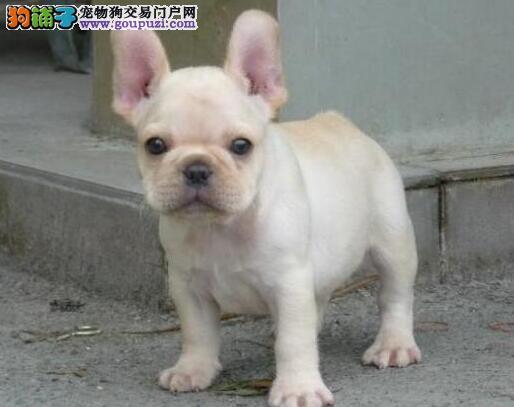 螺旋尾巴大鼻筋的杭州斗牛犬找新家 求好心人士收留犬